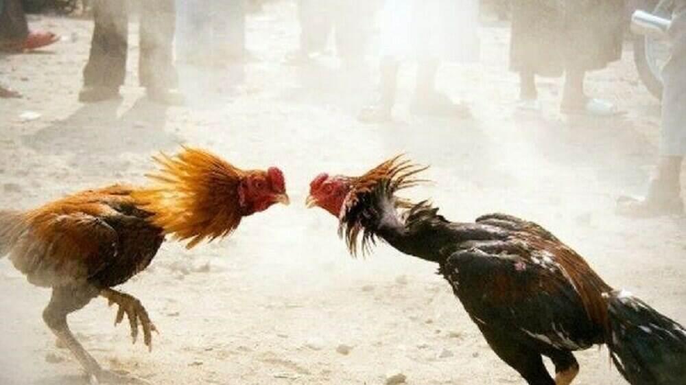 Ketahui Judi Sabung Ayam Di Agen Bola Terpercaya Indonesia
